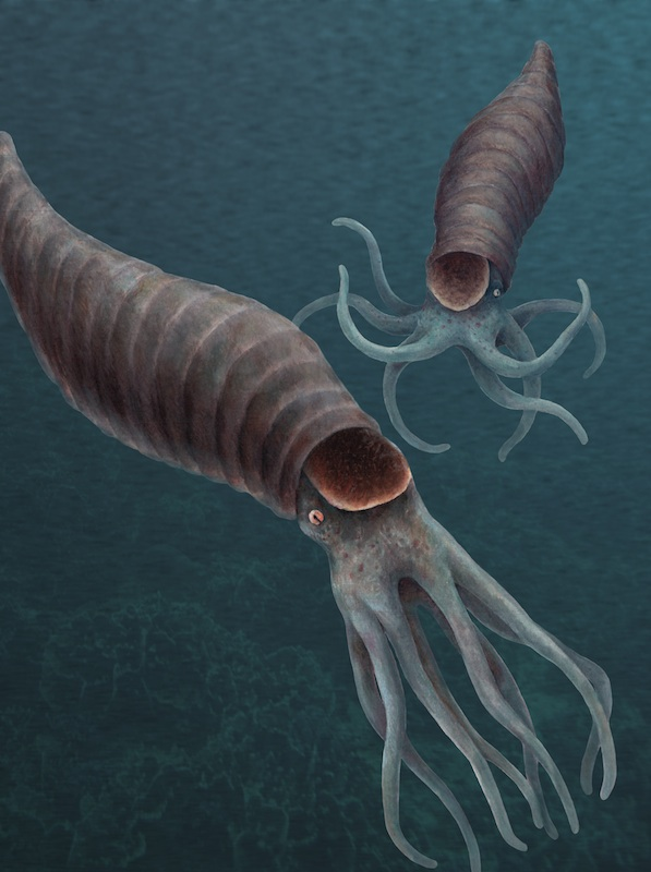 An Illustration by Tyler Ray Fewell of a Silurian Amphicyrtoceras  cephalopod  based on specimens of Amphicyrtoceras and other closely related species from the Chicago area.