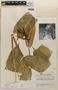 Heliconia aurantiaca Ghiesbr. ex Lem., Guatemala, J. A. Steyermark 44348, F