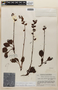Pyrola angustifolia image