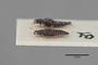 3047886 Stenus microcephalus ST p IN