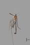 3130364 Limonia tinianensis HT d IN