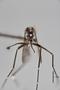 3130368 Aedes dobodurus PT h IN