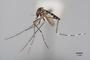 3130368 Aedes dobodurus PT p IN