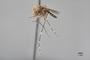 3130372 Aedes subalbitarsis PT p IN