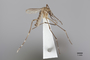 3130373 Aedes argrihanensis PT p IN