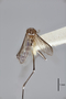 3130376 Aedes palauensis PT d IN