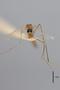 3130377 Aedes bifoliatus PT h IN