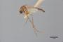 3130377 Aedes bifoliatus PT p IN