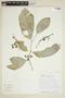 Gymnosporia magnifolia image