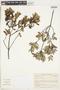 Maytenus boarioides image