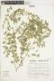 Kallstroemia pubescens (G. Don) Dandy, Peru, S. Llatas Quiroz 3265, F