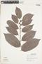 Maytenus ebenifolia image