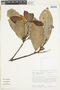 Maytenus prunifolia image