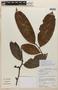 Lissocarpa guianensis Gleason, BRITISH GUIANA [Guyana], F