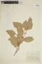 Maytenus longipes Briq., COLOMBIA, F