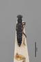 3048284 Stenus rufomaculatus ST d IN
