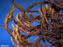 Grimmia austrofunalis image
