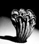 166752: prunus burl toggle