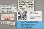 3130417 Dischizocera zumpti PT labels IN