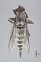 3130433 Lochmorhynchus puntareneusis PT d IN