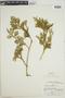 Lycopodium paniculatum image