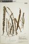 Jamesonia auriculata image