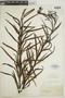 Trismeria trifoliata image