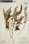 Woodsia montevidensis image