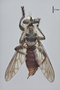 3130453 Andrenosoma yucatanensis PT d IN