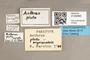 3130465 Anthrax pluto nigriventris PT labels IN