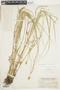 Carex bebbii image