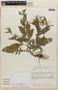 Rorippa dubia (Pers.) H. Hara, Mexico, M. Nee 26338, F