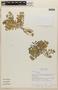 Rorippa Scop., Mexico, M. Nee 29259, F