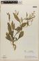 Rorippa indica (L.) Hiern, GUATEMALA, L. O. Williams 23561, F