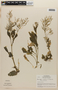 Rorippa indica (L.) Hiern, NICARAGUA, L. O. Williams 27982, F