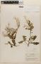 Rorippa indica (L.) Hiern, NICARAGUA, P. C. Standley 8529, F