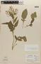 Rorippa indica (L.) Hiern, NICARAGUA, E. Narvaez 3886, F