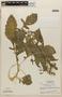 Rorippa indica (L.) Hiern, NICARAGUA, L. O. Williams 20081, F