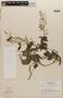 Rorippa indica (L.) Hiern, NICARAGUA, L. O. Williams 27667, F