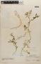 Rorippa mexicana (DC.) Standl. & Steyerm., Mexico, Ll. Williams 8356, F