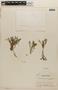 Rorippa mexicana (DC.) Standl. & Steyerm., HONDURAS, P. C. Standley 25583, F