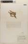 Rorippa mexicana (DC.) Standl. & Steyerm., HONDURAS, J. V. Rodríguez 962, F