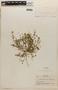 Rorippa mexicana (DC.) Standl. & Steyerm., NICARAGUA, P. C. Standley 10841, F