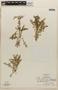 Rorippa mexicana (DC.) Standl. & Steyerm., HONDURAS, A. Molina R. 14229, F