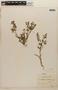 Rorippa mexicana (DC.) Standl. & Steyerm., COSTA RICA, A. Tonduz 1792, F