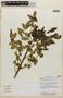 Rorippa nasturtium-aquaticum (L.) Hayek, COSTA RICA, A. Rodríguez González 3295, F