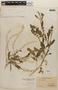 Rorippa palustris (L.) Besser, PANAMA, V. C. Dunlap 392, F