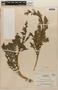 Rorippa palustris (L.) Besser, NICARAGUA, A. Molina R. 2288, F