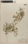 Rorippa portoricensis (Spreng.) Stehlé, HONDURAS, P. C. Standley 56537, F