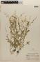 Rorippa teres (Michx.) Stuckey, HONDURAS, P. C. Standley 55769, F